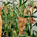 GCCRC - news - agriculture in the face of climate change